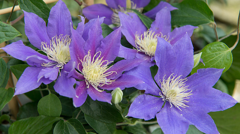 Clematis is de tuinplant van de Maand april
