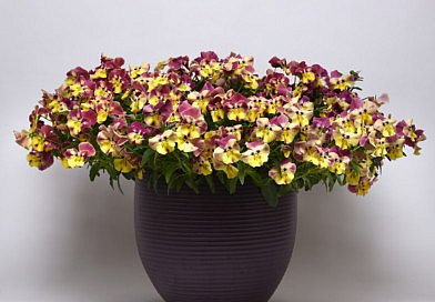 Innovations at IPM Essen 2019: Pansy cool wave®